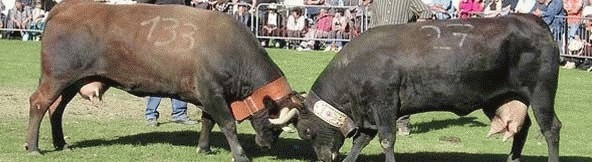 guerra delle vacche