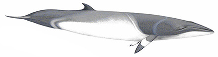 Minkewhale